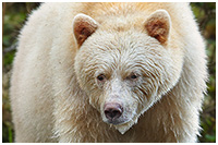 Autumn Tours: The Great Bear Rainforest Explorer - Spirit Bears, Grizzlies, and More!