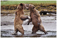 Sub-adult Male Grizzlies Sparring: Jaws, Paws & Claws