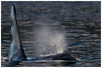 Orca Bull Surfacing