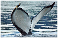 Humpback Tail - With Barnacles Hitching A Ride!