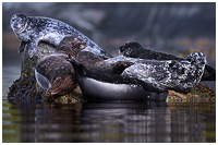 A Colourful mix of Harbour Seals on a Haul-out Rock