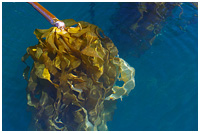 Islands of Biodiversity and Productivity - Kelp Forest