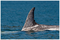 Risso's Dolphin Feeding in Shallow Waters